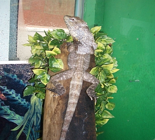 Neon Gecko Exotic Pets Glasgow - Frilled Dragon