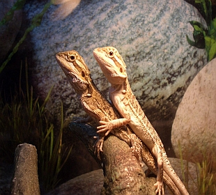 Neon Gecko Exotic Pets Glasgow - Baby Bearded Dragons