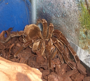 Neon Gecko Exotic Pets Glasgow - Goliath Birdeater
